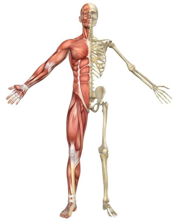 Squelette et muscles lors des formations massage