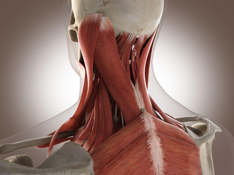 Anatomie palpatoire et physiologie