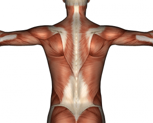 étude des muscles du dos