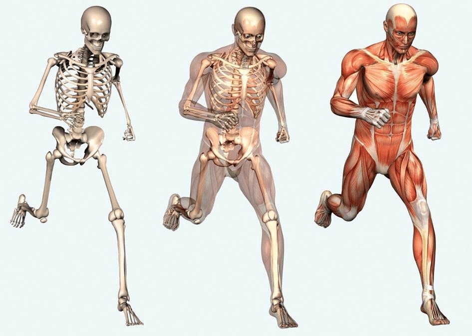 La formation anatomie palpatoire : massage et connaissances.